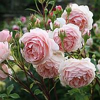 № 15. Троянда Англійська Бежево-рожева