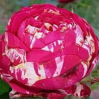 № 7. Саженцы роз Малиновая с белыми прожилками