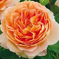 № 86-1. Саженцы роз Персиковая