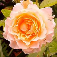 Саджанці троянд 'Ескалібур'