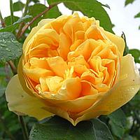 № 33. Саженцы роз 'Грехем Томас'