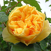 № 70. Троянда 'Грехем Томас'