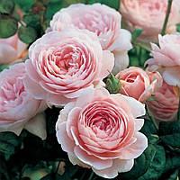 Саджанці троянд 'Куін оф Шведен' ('Queen of Sweden')