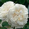 Саджанці троянд 'Вінчестер Кафедрал'