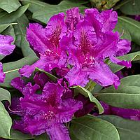 Саджанці Рододендрону 'Азурро' 2 года (1,5л)
