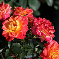 "№ 102. Саджанці Троянд ""Мандарин"", фото 1"