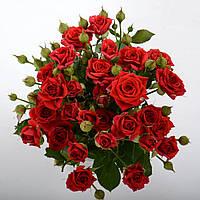 """№ 59. Троянда Спрей 'Мірабель' (""""Mirabell"""")"""