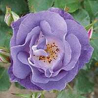 """Саджанці троянд """"Блю Фо Ю"""" (""""Блу Фор Ю""""), фото 1"""