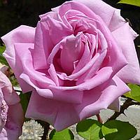 № 45. Саджанці троянд 'Конрад Фердінанд'