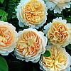 № 47. Саджанці троянд 'Крокус'