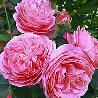 № 56. Саженцы роз 'Луис Одьер'