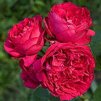 № 34-1. Саженцы роз 'Ред Эден'