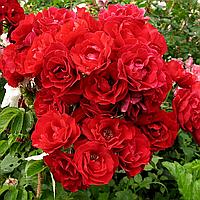№ 63-2. Саженцы роз 'Хансаланд'