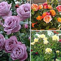 """Набір Троянд """"Щасливий Випадок"""" 3 штуки"""