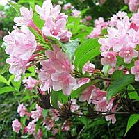 Вейгелацветущая розовая (5 л)