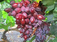 Саджанці винограду сорт 'Ася' - 1 рік (ЗКС)