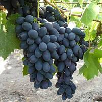Саджанці винограду сорт 'Кодрянка' - 1 рік (ЗКС)