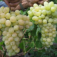 Саджанці винограду сорт 'Лора' ('Флора') - 1 рік (ЗКС)