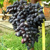 Саджанці винограду сорт 'Надія АЗОС' - 1 рік (ЗКС)