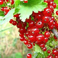 Саджанці Червоної Смородини 'Дарниця' 2 роки (1,5 л)