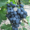 Саджанці винограду сорт 'Забава' - 1 рік (ЗКС)