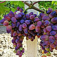 Саджанці винограду сорт 'Байконур' - 1 рік (ЗКС)