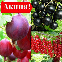Набір саджанців Агрусу + Смородини Чорної та Червоної (3шт)