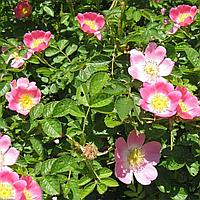 Шипшина 'Троянда Каніна' (ЗКС) - 2 роки, фото 1