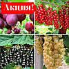 Набір саджанців Агрусу + Смородини Чорної+Червоної+Білої (4шт)