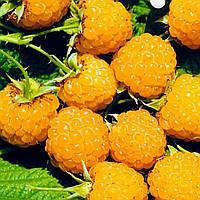 Саджанці малини 'Золотистий Гігант' - короткі пагони