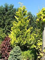 Кипарисовик Лавсона 'Івонн' (ЗКС; 0,7л), фото 1