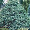 Кипарисовик горохоплідний 'Сквароза' (копан, висота від 200 см)