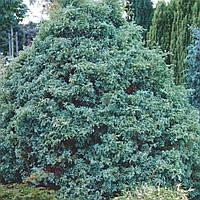 Кипарисовик горохоплідний 'Сквароза' (копан, висота від 200 см), фото 1