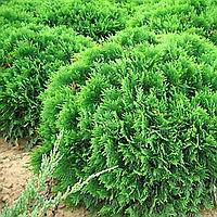 Туя західна 'Глобоза' (копан., Ø 30-40 см)