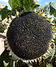 Семена подсолнечника НСХ 6042 устойчив к заразихе A-Е, 110-115 дней. 50 ц/га.