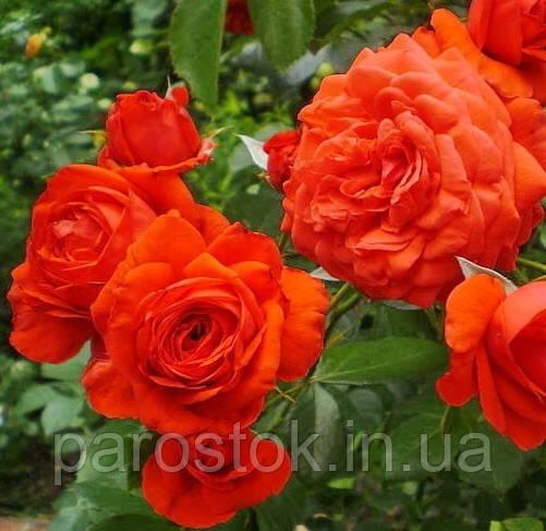 Роза Мейнтауэр. (вв). Плетистая роза