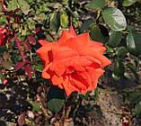 Роза Мейнтауэр. (вв). Плетистая роза, фото 2