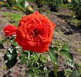 Роза Мейнтауэр. (вв). Плетистая роза, фото 3