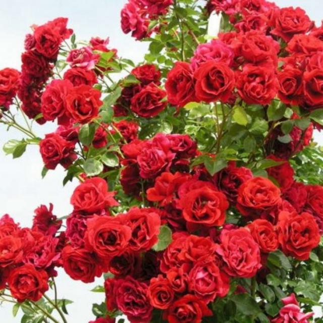 Троянди Плетисті (Виткі)