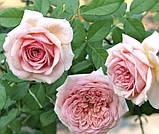 Роза Абрахам Дерби, (ввв). Английская роза, фото 2