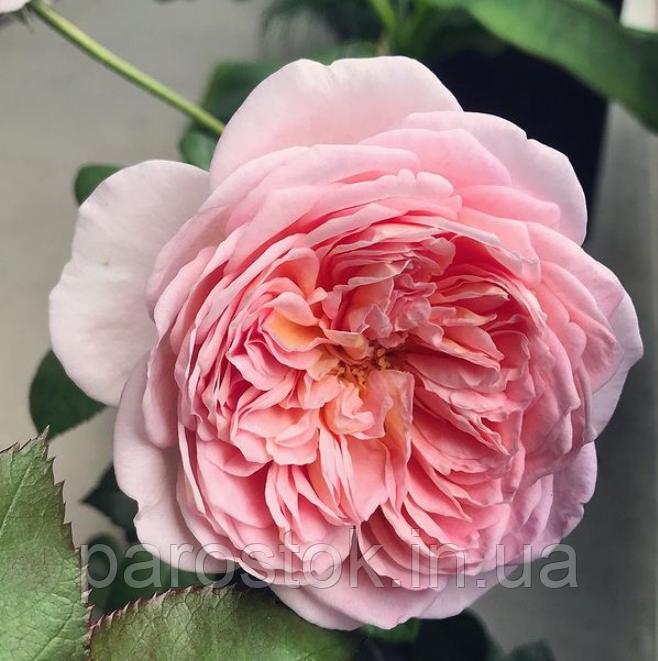 Роза Абрахам Дерби, (ввв). Английская роза