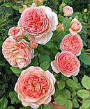 Роза Абрахам Дерби, (ввв). Английская роза, фото 3