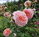 Роза Абрахам Дерби, (ввв). Английская роза, фото 4