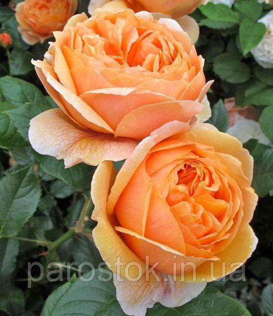 Роза Каролин Найт. (с). Английская роза