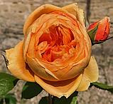 Роза Каролин Найт. (с). Английская роза, фото 2