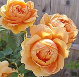 Роза Каролин Найт. (с). Английская роза, фото 3