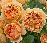 Роза Каролин Найт. (с). Английская роза, фото 4