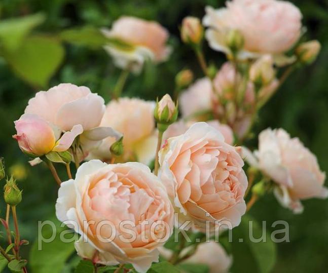 Троянда Джуд зе Обскур. (в). Англійська троянда