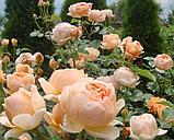 Роза Джуд зе Обскур. (в). Английская роза, фото 3