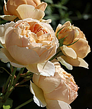 Роза Джуд зе Обскур. (в). Английская роза, фото 6